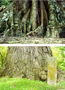 Venerable Trees - pictures of Bodh tree and bur oak