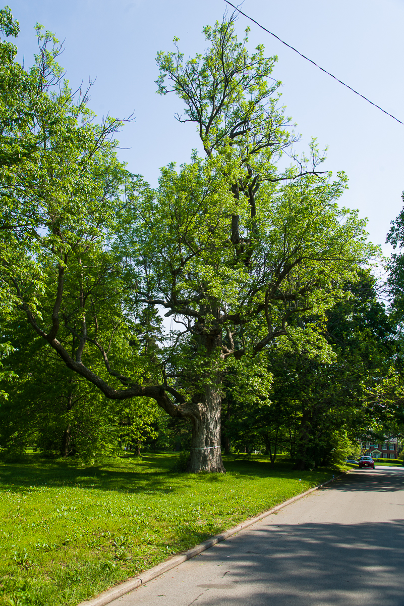 Picture of blue ash tree