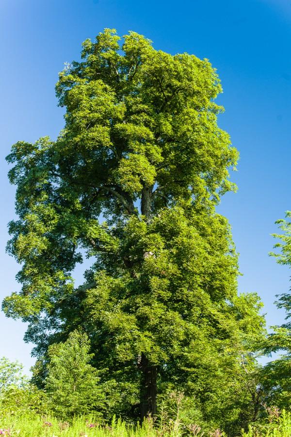 Kingnut, Carya laciniosa
