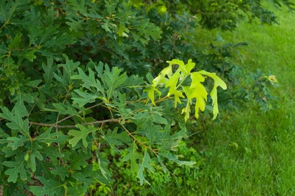 shoot growth in bur oak.