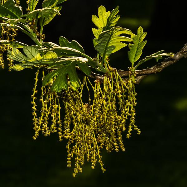 bur oak flowers