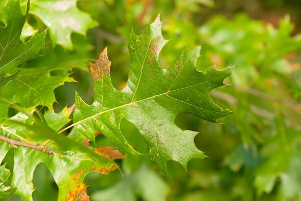 Quercus shumardii-4739-Edit