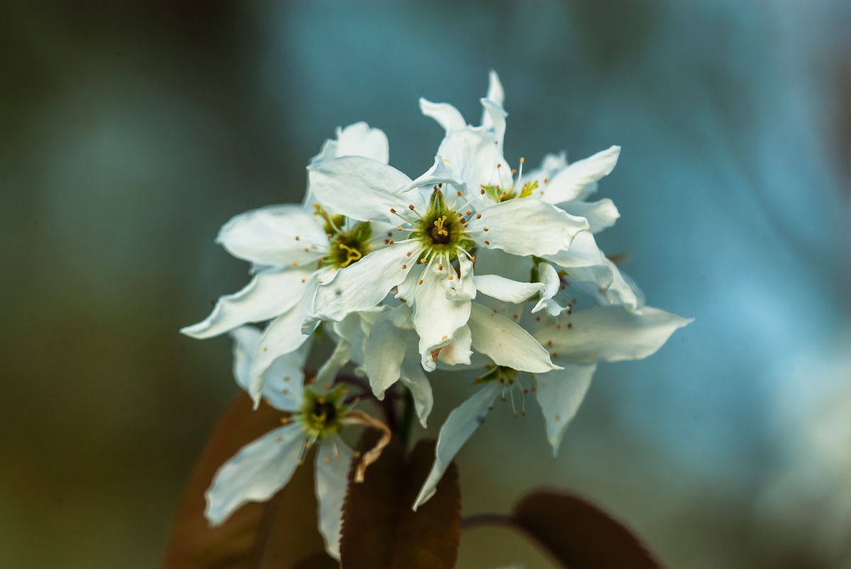 Picture of serviceberry flowers