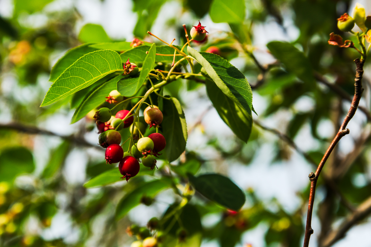 Ripe fruit of Canadian serviceberry