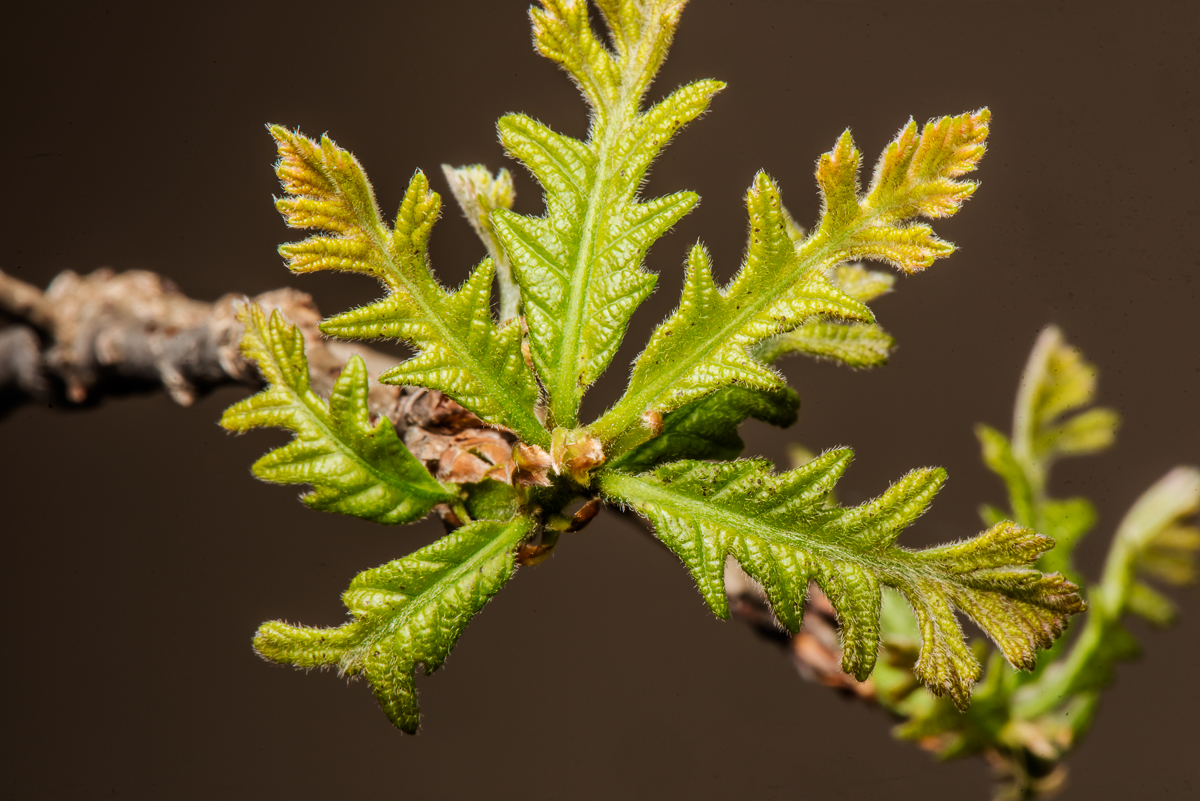 Blue Book Car Value >> Why are young bur oak leaves hairy? - Venerable Trees