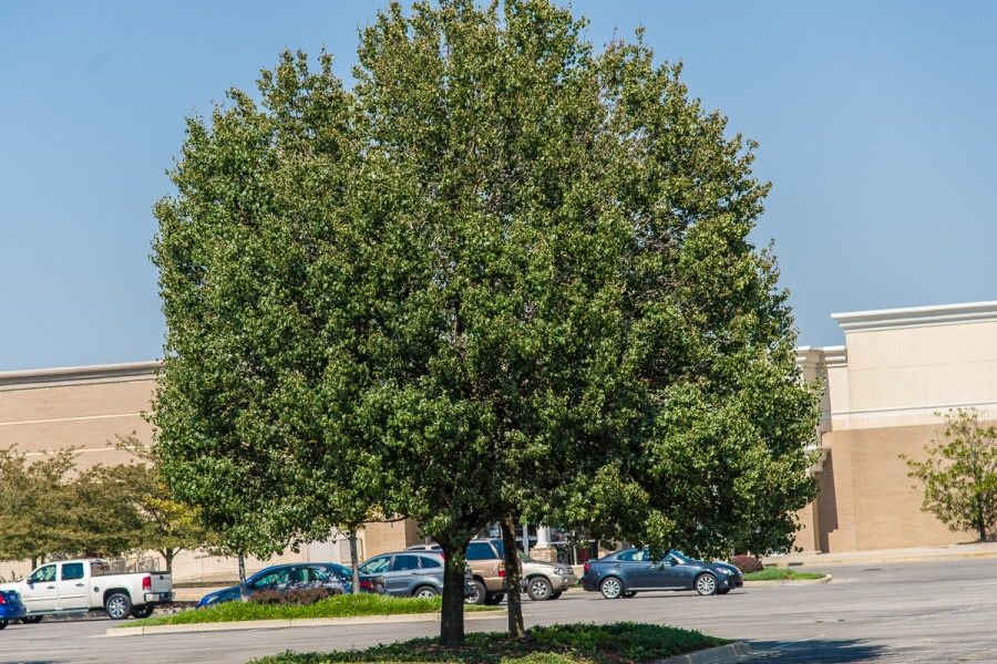 Callery pear, Pyrus calleryana planted in a shopping center parking lot.