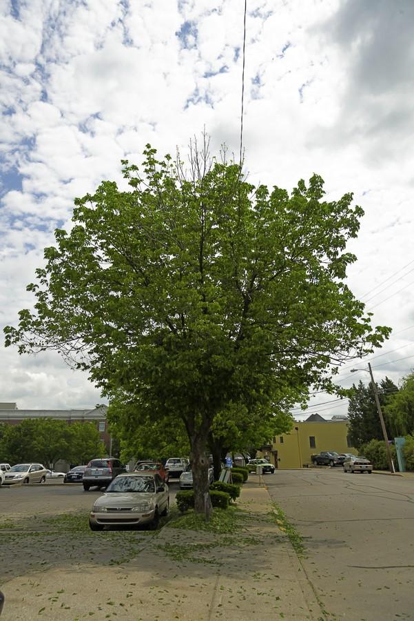Ash trees losing leaves