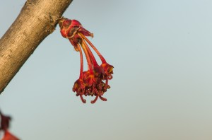 Red maple, Acer rubrum, functionally female flowers