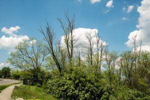 Dead white ash trees