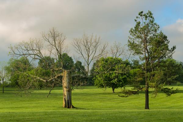 Defoliated bur oak