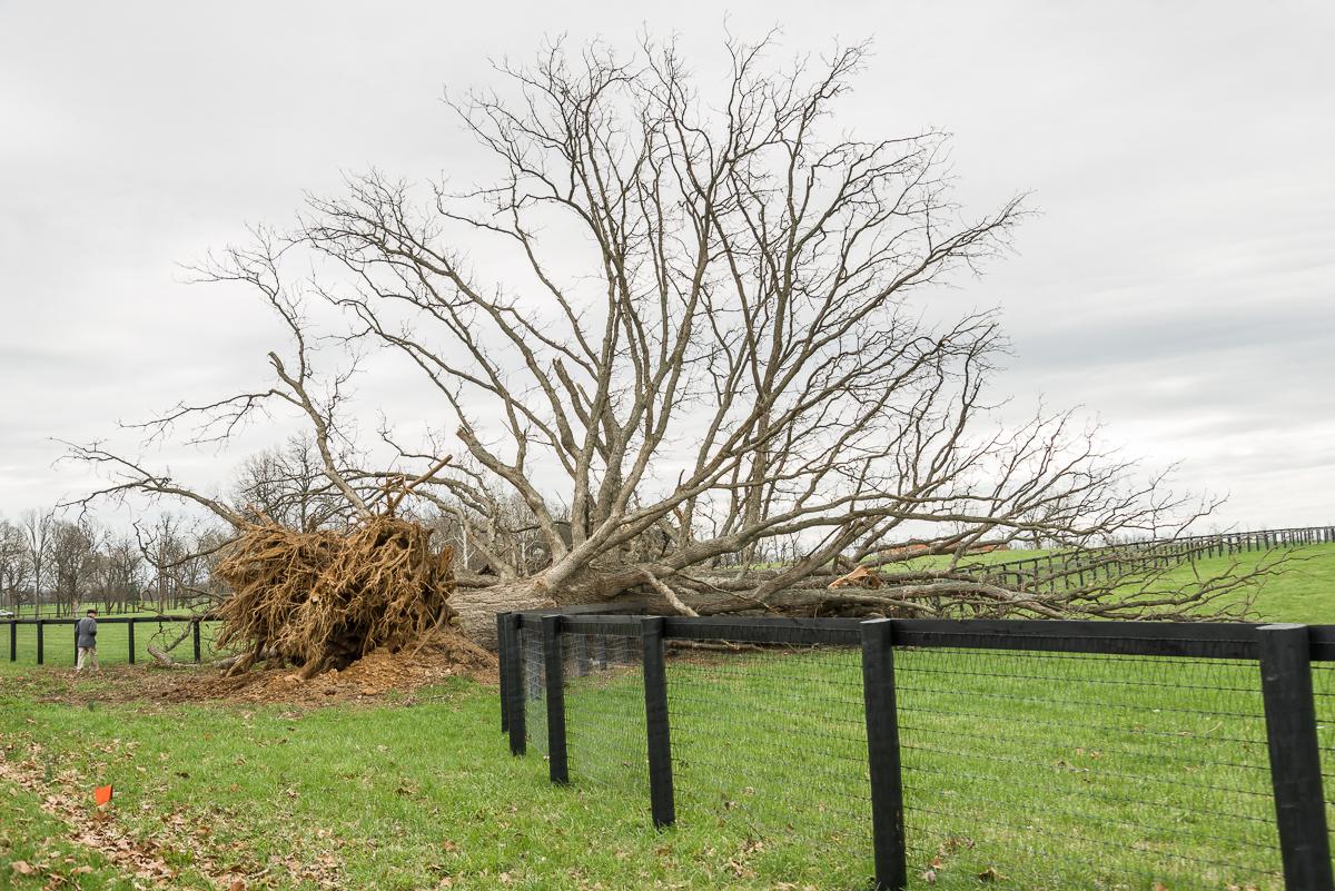Ancient bur oak