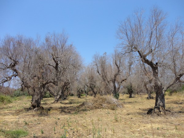 Dead olive trees