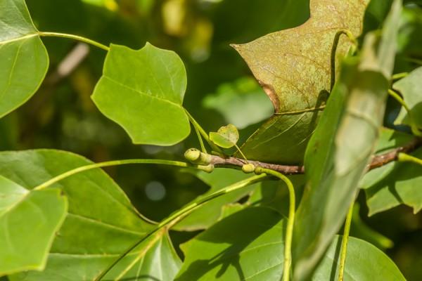 Late season shoot growth in yellow-poplar.