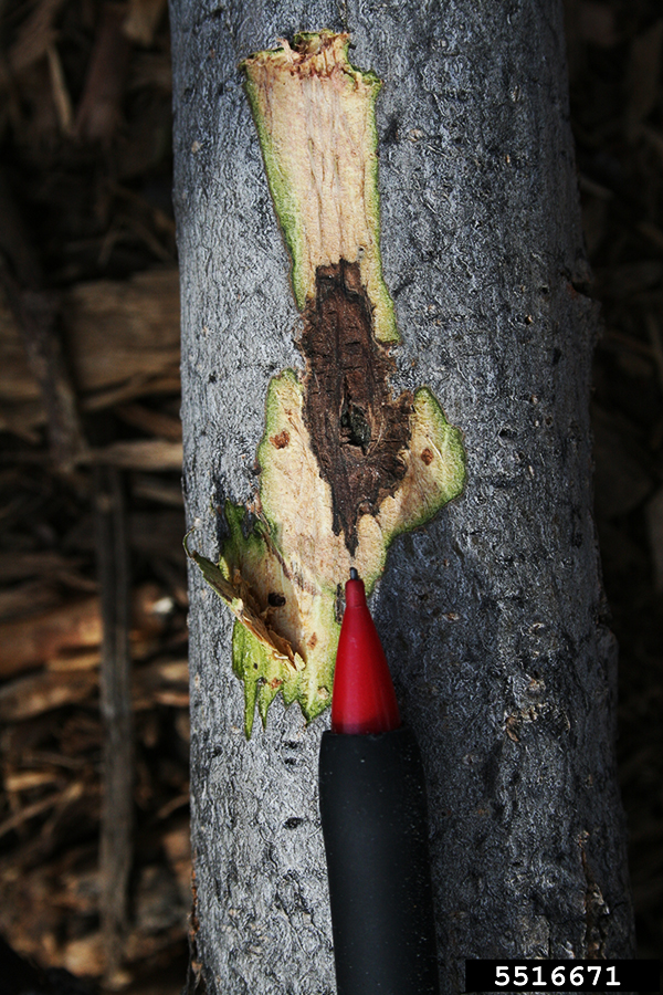 thousand canker disease