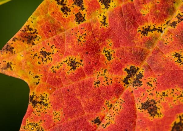 Sugar maple leaf in autumn, Acer saccharum