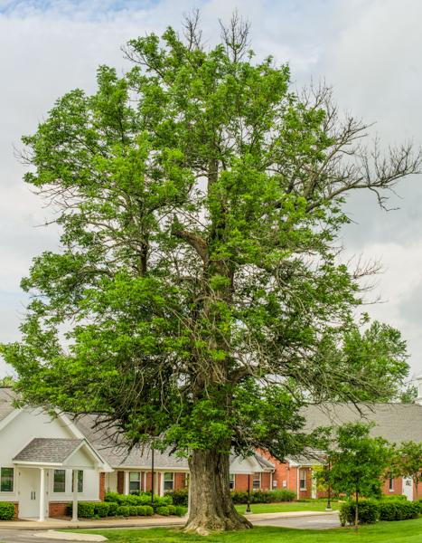Blue ash tree