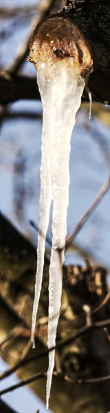 Icicle of maple sap
