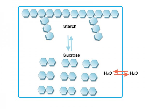Diagram of starch and sugar