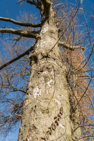 Stem of declining pin oak