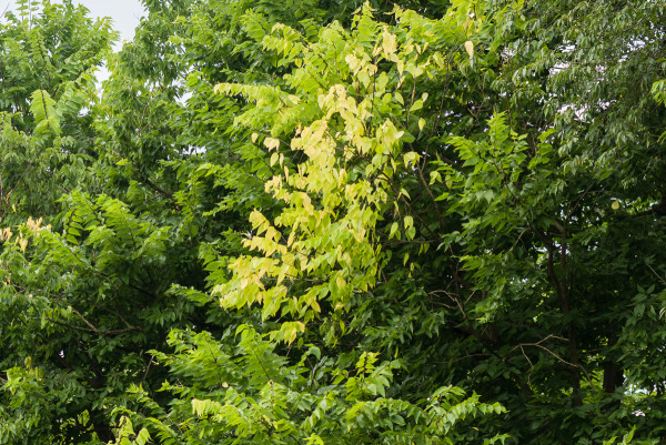 July flush of hackberry with very pale foliage.