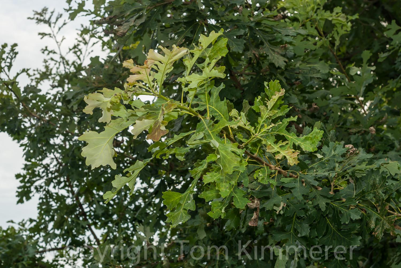 September flush of growth in bur oak