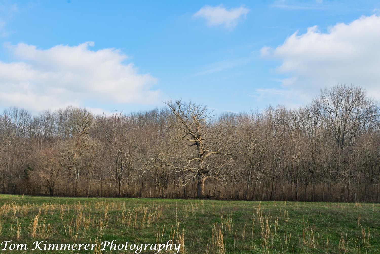 Woodland with large bur oak