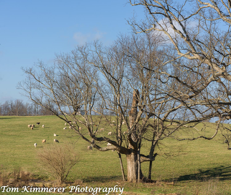 Bur oak and sheep
