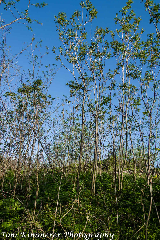 National champion smooth sumac, Rhus glabra, Anacardiaceae