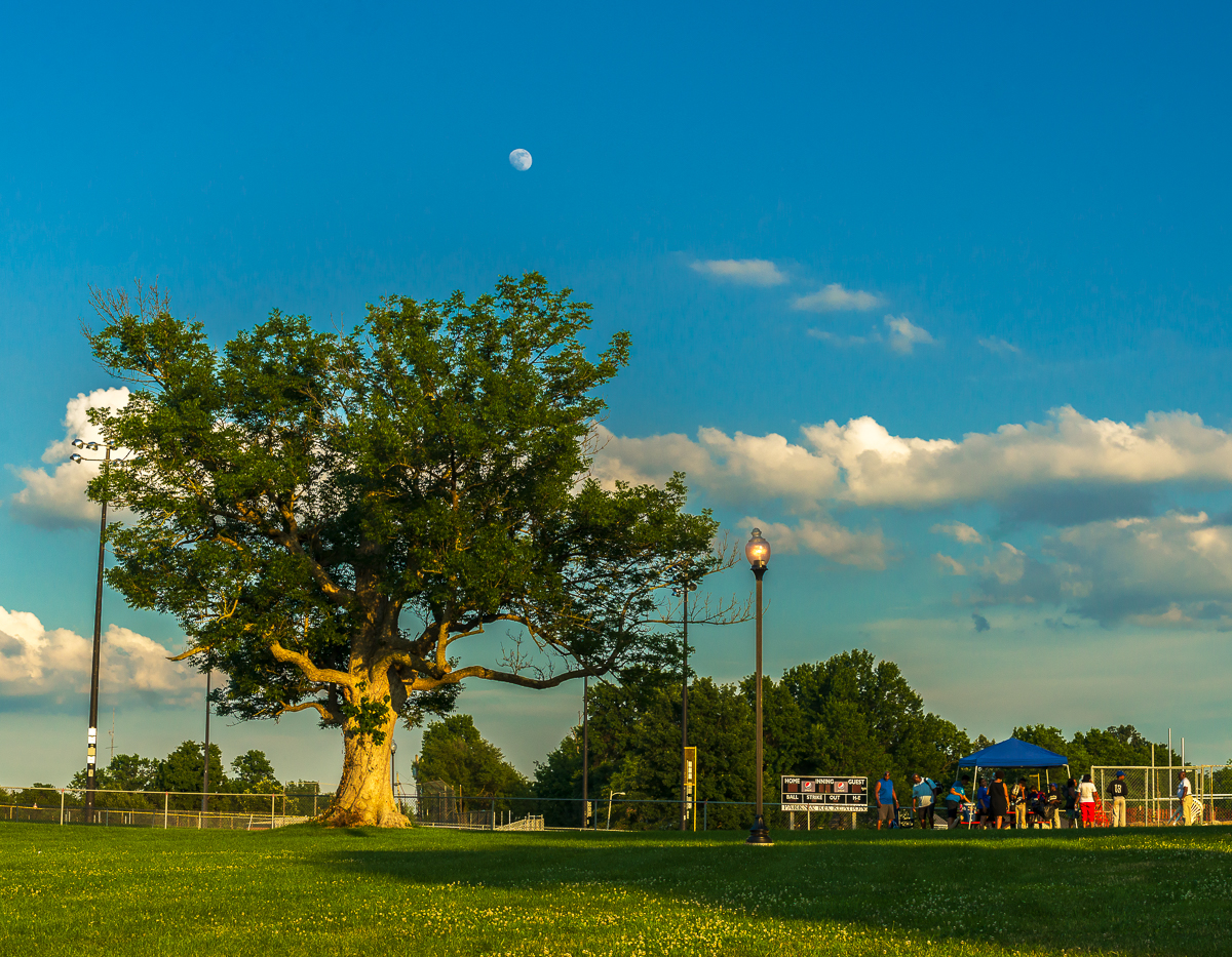Blue ash in Castlewood Park.