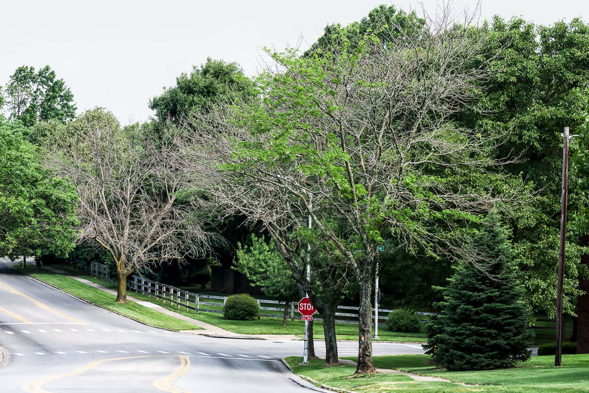 Dying street trees