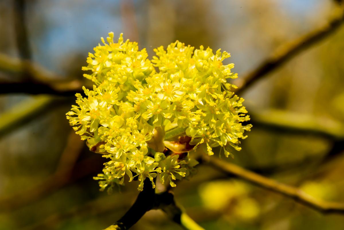 sassafras flower