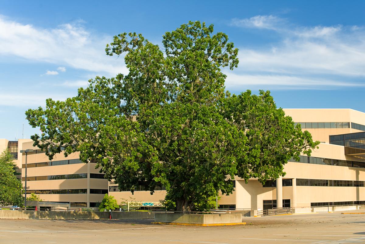 Bur oak, Quercus macrocarpa, at St. Joseph Medical Center parking garage.