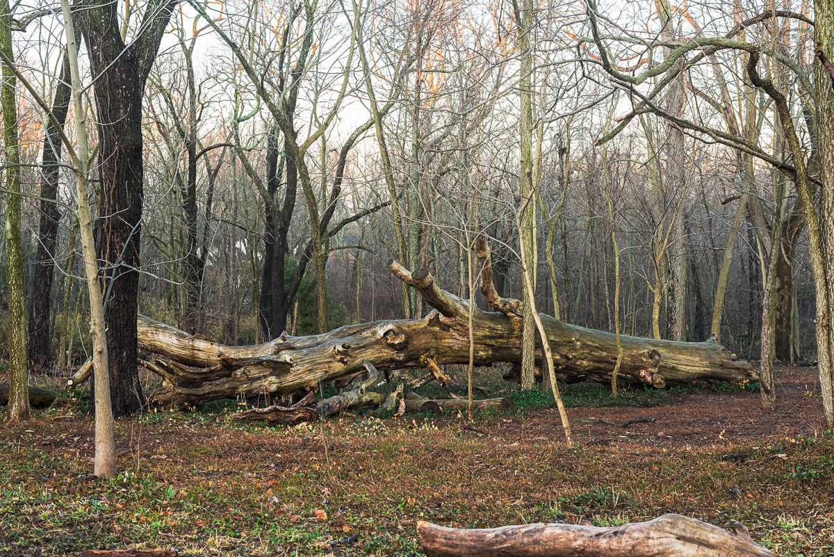 A magnificent dead blue ash tree