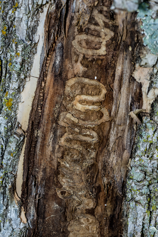 Emerald ash borer larval tracks