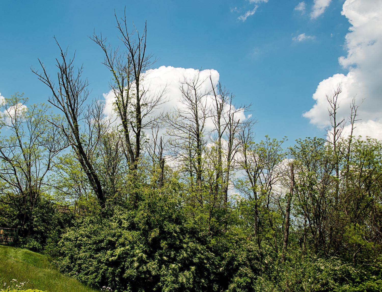Dead ash trees