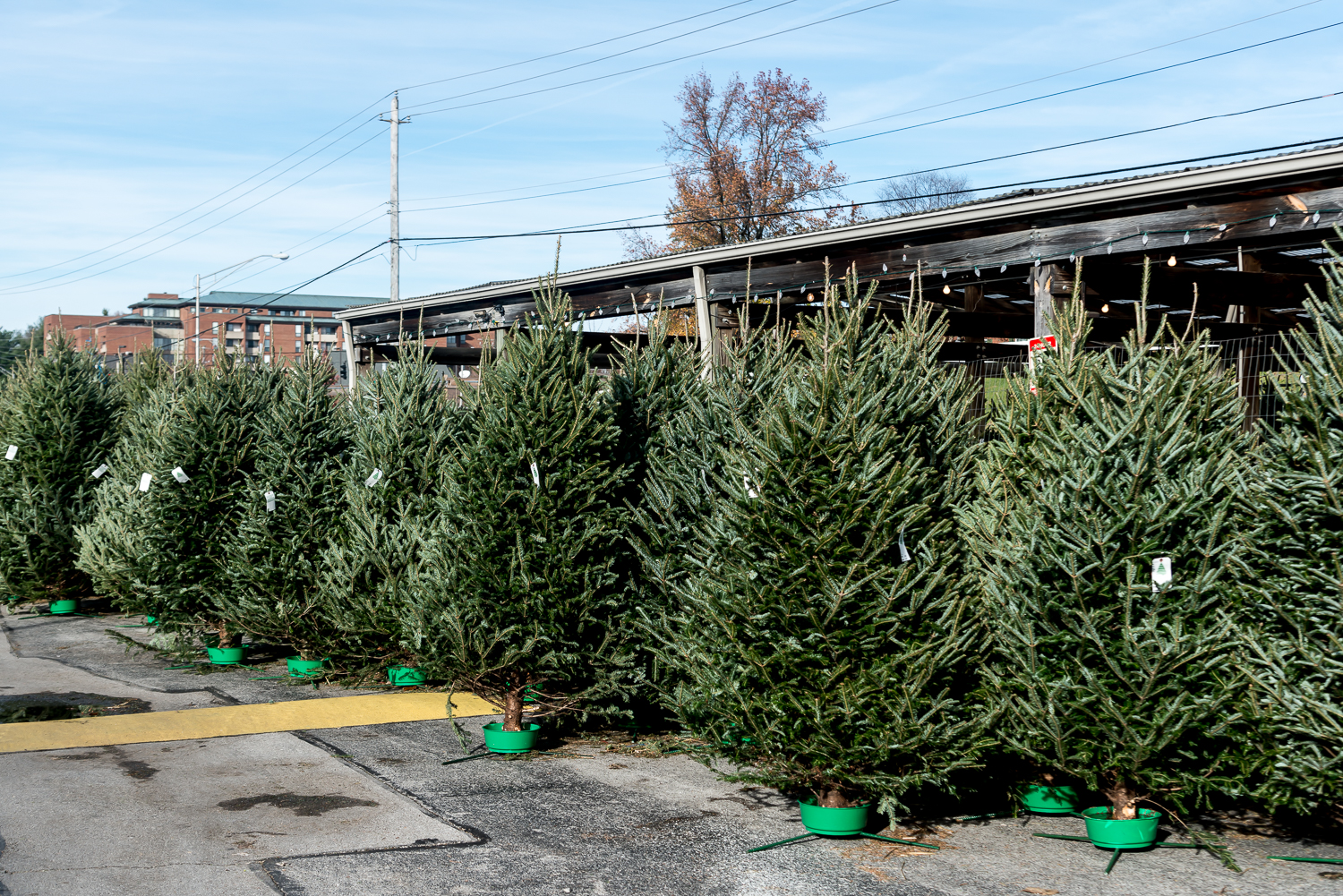 christmas trees ready for sale - Cheap Real Christmas Trees For Sale